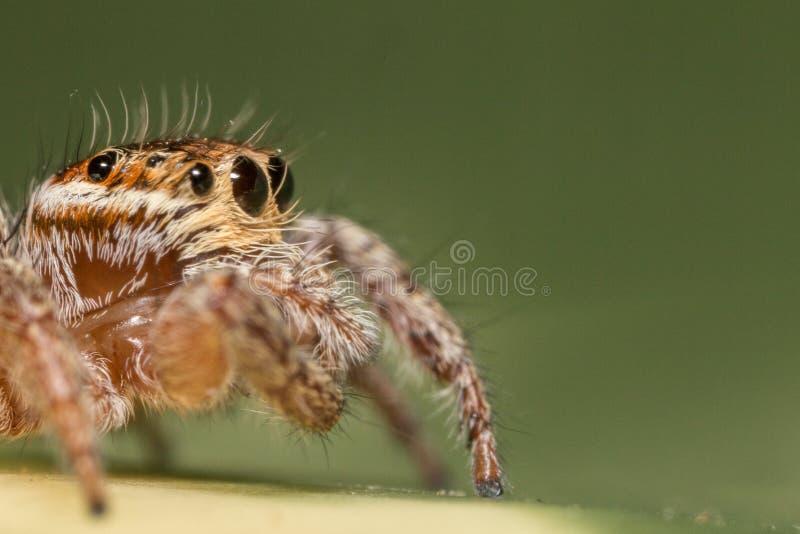 Μικροσκοπική αράχνη άλματος στοκ φωτογραφία με δικαίωμα ελεύθερης χρήσης