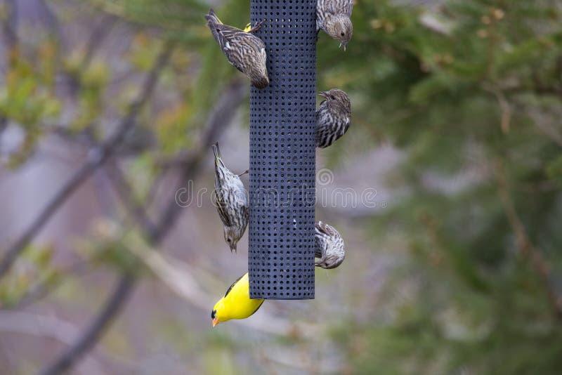 Μικροσκοπική αρσενική αμερικανική βλέπω? goldfinch κρεμώντας άνω πλευρά - κάτω από τον τροφοδότη στοκ εικόνες