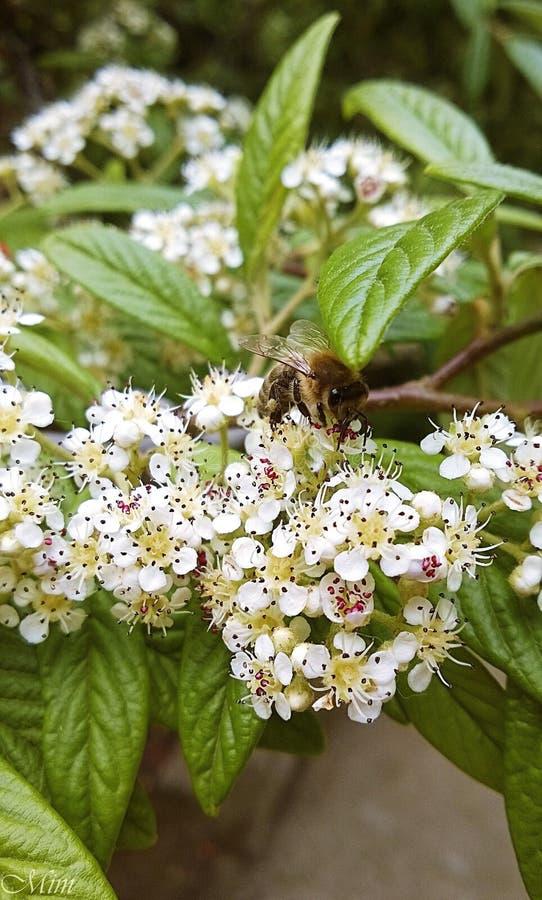 μικροσκοπική μέλισσα στοκ εικόνες