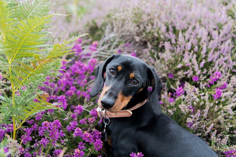 Μικροσκοπική συνεδρίαση dachshund στην πορφυρή ερείκη στοκ φωτογραφία με δικαίωμα ελεύθερης χρήσης
