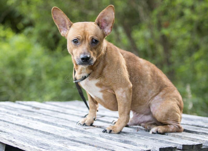 Μικροσκοπική φωτογραφία υιοθέτησης σκυλιών φυλής Pinscher μικτή Chihuahua στοκ φωτογραφίες