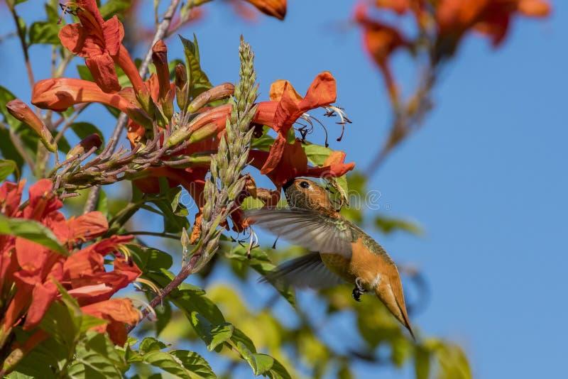 Μικροσκοπική χαριτωμένη αρσενική καστανοκοκκινωπή απορρόφηση κολιβρίων στο νέκταρ ενός λουλουδιού στοκ φωτογραφία με δικαίωμα ελεύθερης χρήσης