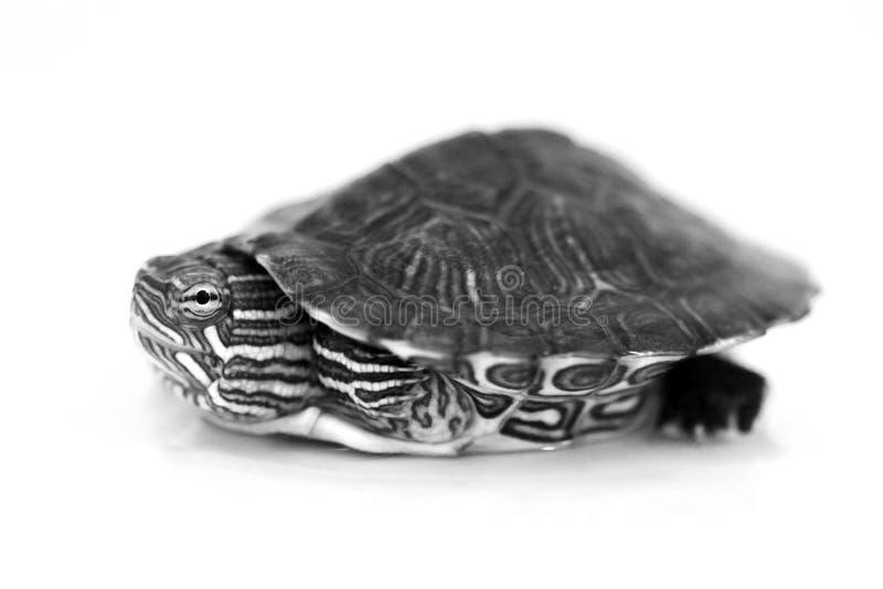 Μικροσκοπική χελώνα μωρών στο λευκό στοκ φωτογραφία