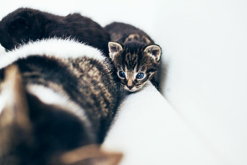 Μικροσκοπικός λίγο γατάκι που κοιτάζει αδιάκριτα γύρω από τη μητέρα του στοκ φωτογραφία