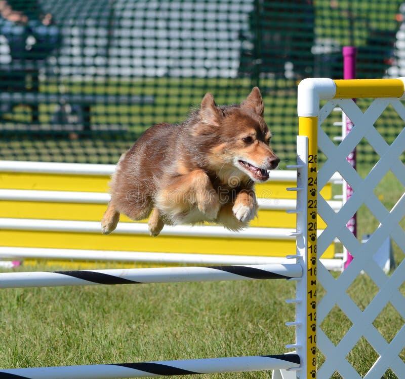 Μικροσκοπικός αμερικανικός (στο παρελθόν Αυστραλός) ποιμένας στη δοκιμή ευκινησίας σκυλιών στοκ εικόνα με δικαίωμα ελεύθερης χρήσης