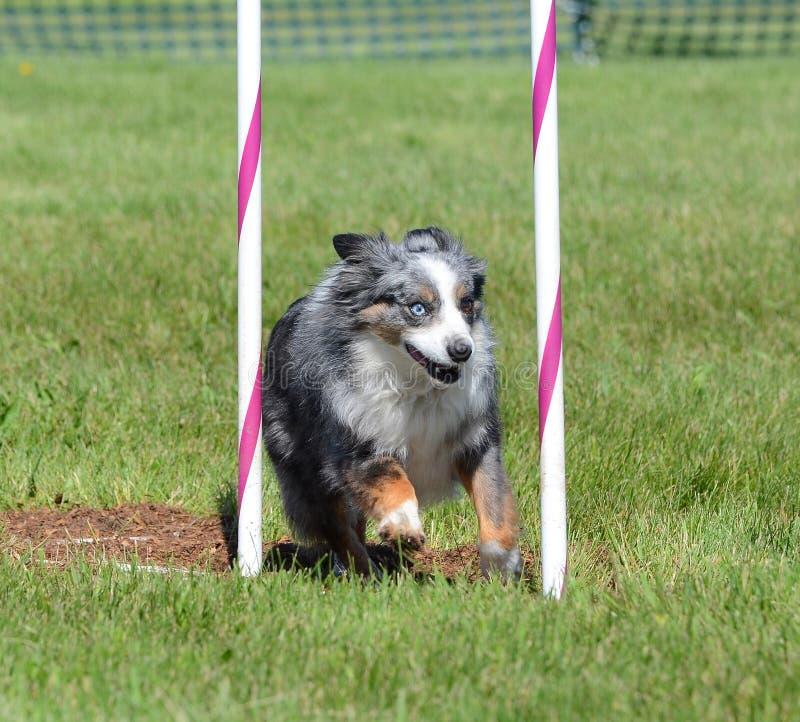 Μικροσκοπικός αμερικανικός (στο παρελθόν Αυστραλός) ποιμένας στη δοκιμή ευκινησίας σκυλιών στοκ εικόνες