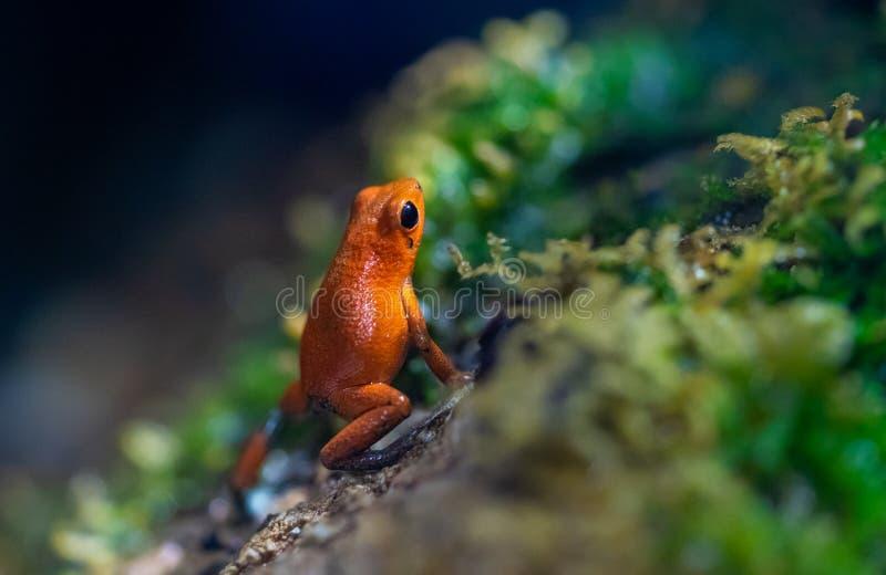 Μικροσκοπικός δηλητηριασμένος κόκκινος βάτραχος σε ένα υγρό δάσος στοκ φωτογραφία