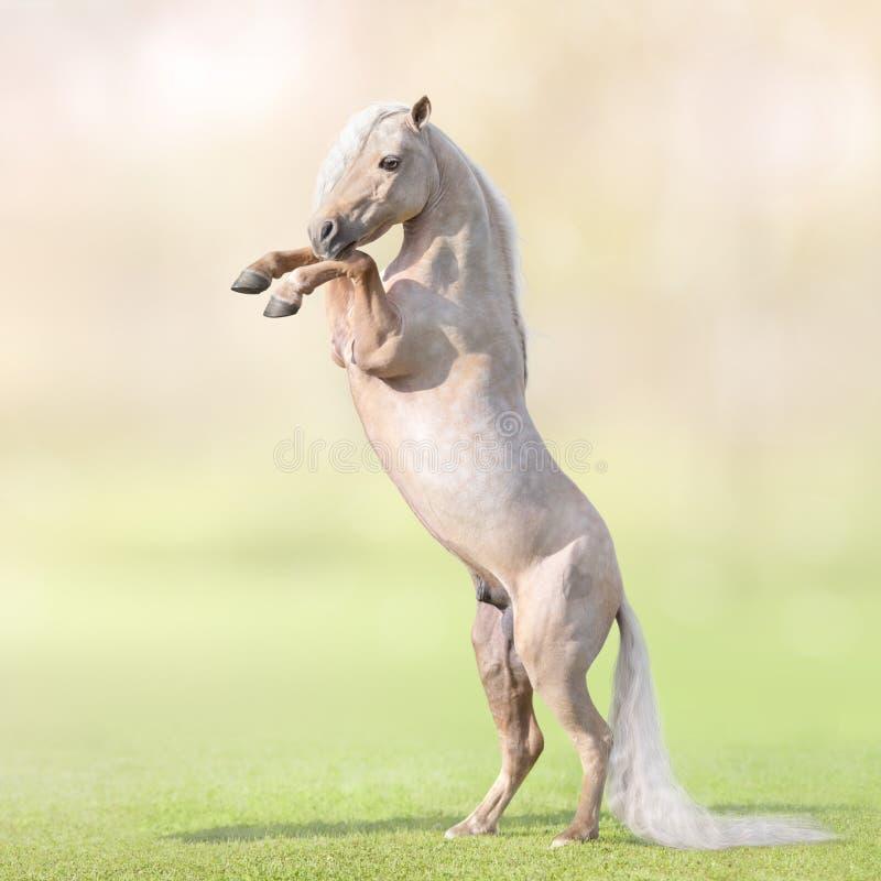 Μικροσκοπικό άλογο Palomino με τη μακροχρόνια άσπρη εκτροφή ουρών στη χλόη στοκ εικόνες με δικαίωμα ελεύθερης χρήσης