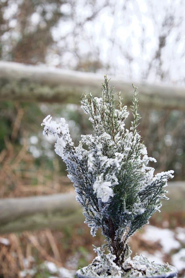 Μικροσκοπικό έλατο χριστουγεννιάτικων δέντρων που ξεσκονίζεται με το χιόνι έξω στοκ εικόνα