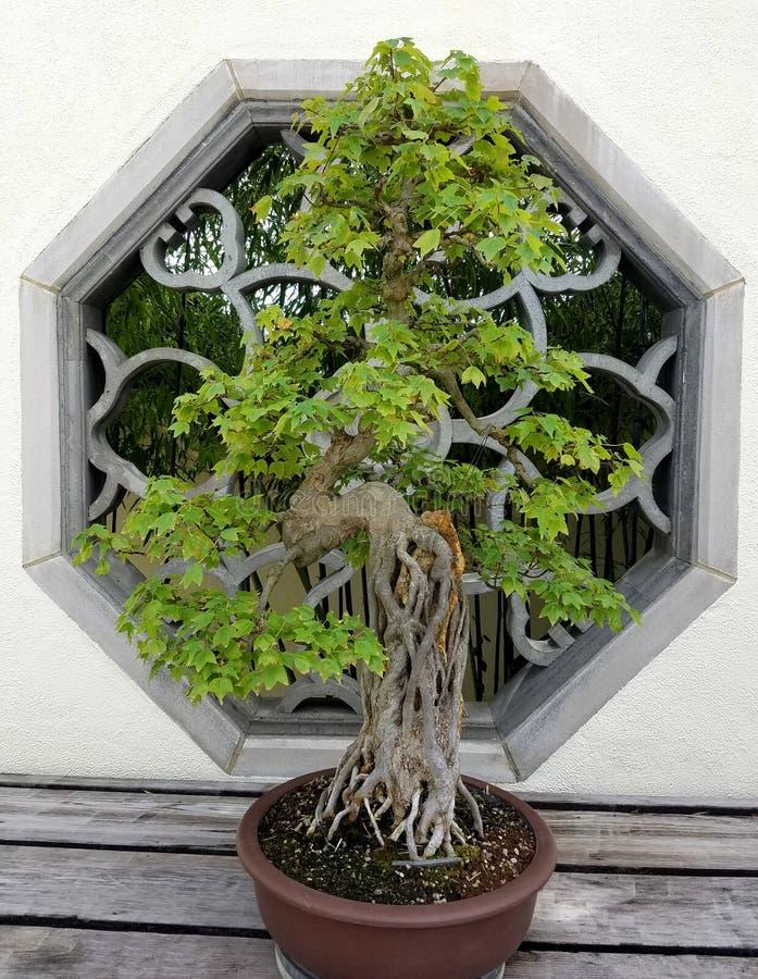 Μικροσκοπικό δέντρο μπονσάι στοκ εικόνα