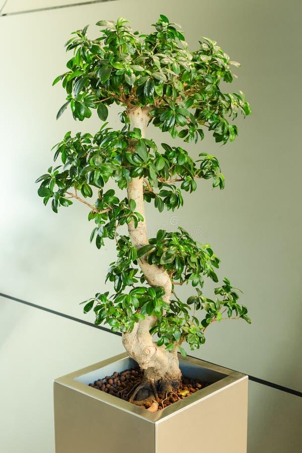 Μικροσκοπικό δέντρο ficus - ιαπωνική παραδοσιακή τέχνη μπονσάι στοκ εικόνα