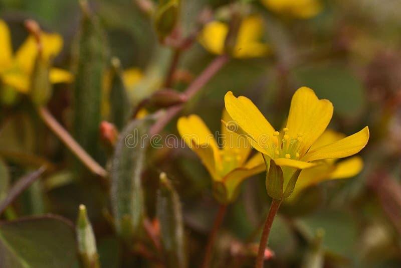 Μικροσκοπικό κίτρινο λουλούδι, τα φύλλα του τριφυλλιού όπως λεπτομερώς στοκ φωτογραφία με δικαίωμα ελεύθερης χρήσης