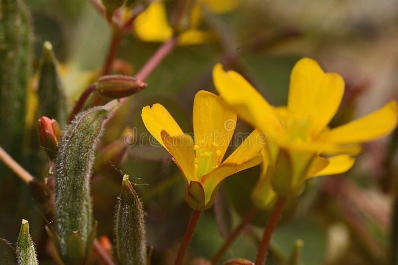 Μικροσκοπικό κίτρινο λουλούδι, τα φύλλα του τριφυλλιού όπως μέσα - άλλη λεπτομέρεια στοκ εικόνες με δικαίωμα ελεύθερης χρήσης