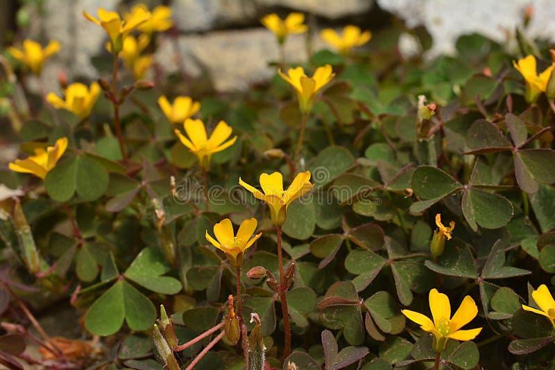 Μικροσκοπικό κίτρινο λουλούδι, τα φύλλα του τριφυλλιού όπως μέσα - από μια χαμηλότερη γωνία στοκ φωτογραφίες
