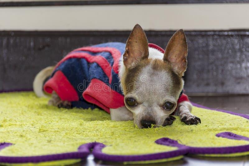 Μικροσκοπικό σκυλί chihuahua που φορά το μπλε πουκάμισο στοκ φωτογραφία με δικαίωμα ελεύθερης χρήσης