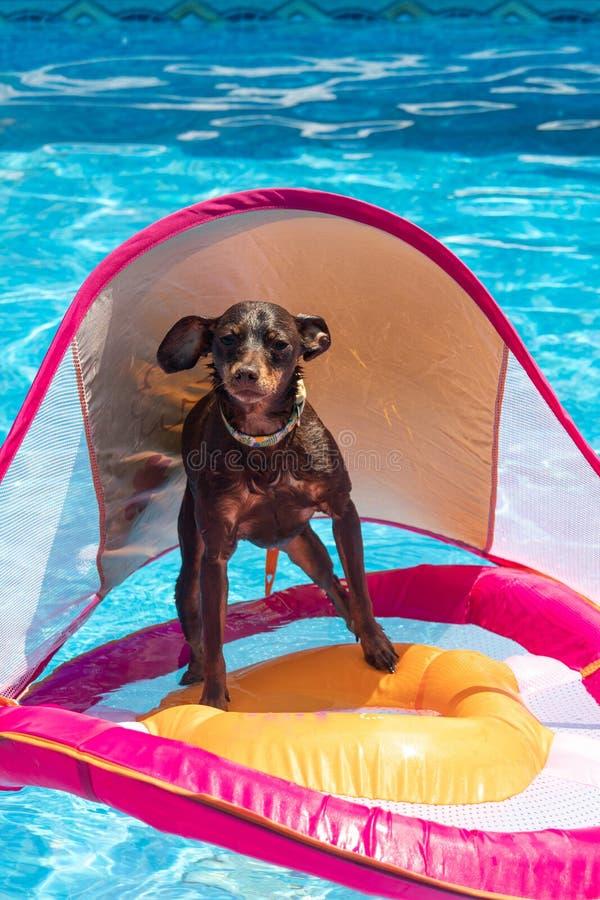 Μικροσκοπικό σκυλί pinscher που επιπλέει στην πισίνα στοκ φωτογραφία