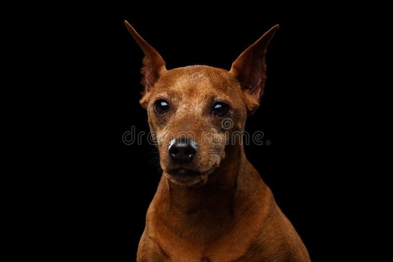 Μικροσκοπικό σκυλί Pinscher στο Μαύρο στοκ εικόνα με δικαίωμα ελεύθερης χρήσης