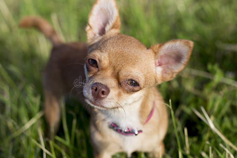 Μικροσκοπικό chihuahua σε ένα grasse στοκ φωτογραφία με δικαίωμα ελεύθερης χρήσης
