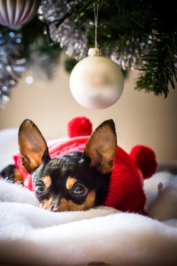 Μικροσκοπικό pinscher κάτω από το χριστουγεννιάτικο δέντρο