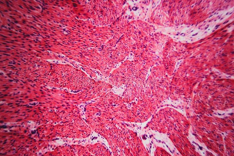 Μικροσκοπικό pyloric στομάχι τμήματος κυττάρων στοκ εικόνες