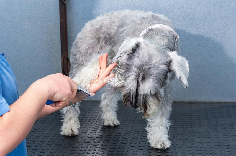 Μικροσκοπικό schnauzer σε μια hairdressing σύνοδο σε μια κτηνιατρική κλινική στοκ φωτογραφία με δικαίωμα ελεύθερης χρήσης