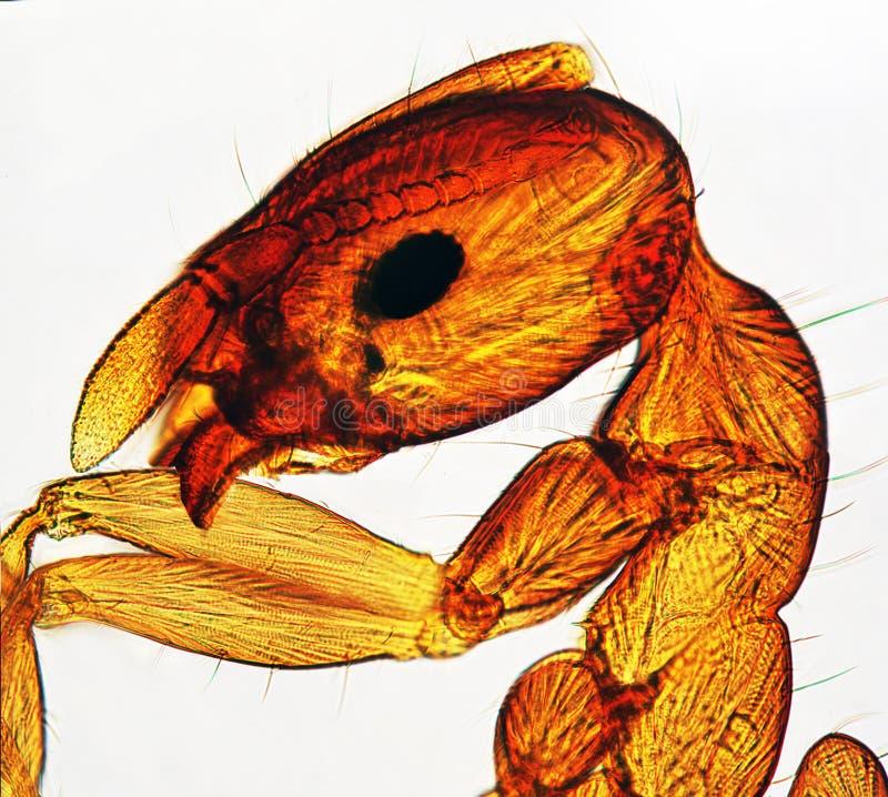 μικροσκόπιο μυρμηγκιών π&omicro στοκ εικόνες με δικαίωμα ελεύθερης χρήσης