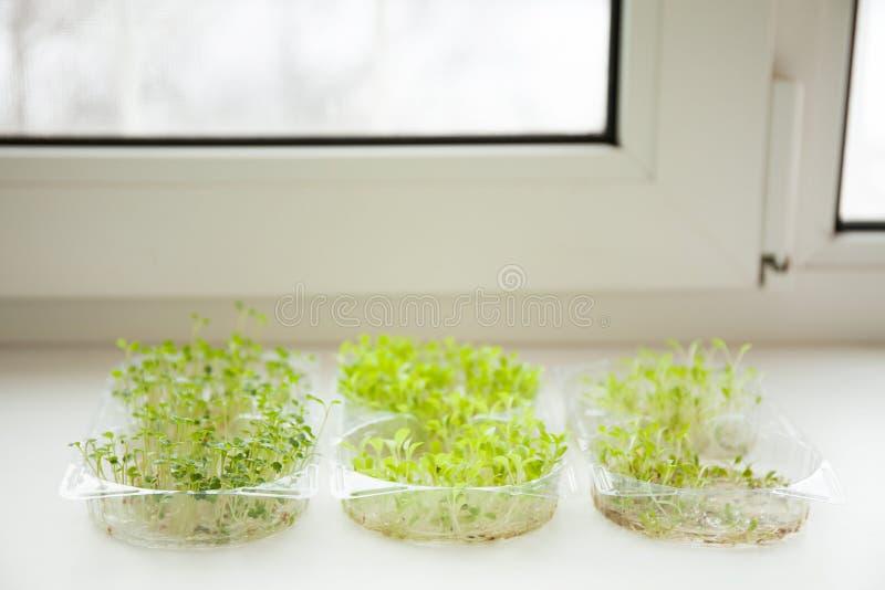 Μικρόβια των πρασίνων μικροϋπολογιστών στο windowsill στοκ εικόνα με δικαίωμα ελεύθερης χρήσης