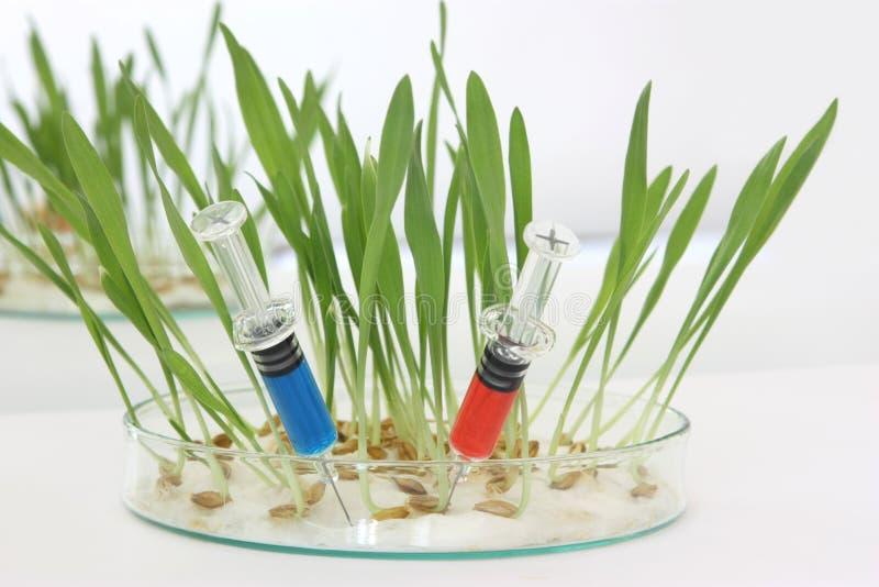 μικρόβιο ΓΤΟ στοκ εικόνες με δικαίωμα ελεύθερης χρήσης