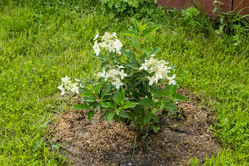 Μικρός άσπρος ανθίζοντας θάμνος hydrangea στοκ εικόνες με δικαίωμα ελεύθερης χρήσης