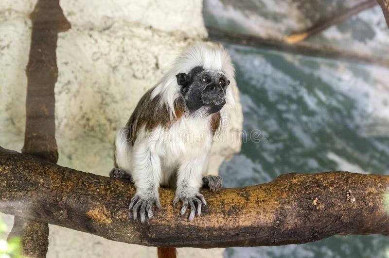 Μικρός άσπρος τριχωτός πίθηκος oedipus Saguinus στον ξύλινο κλάδο, αστείο πρόσωπο στοκ εικόνες