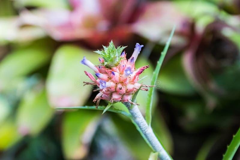 μικρός ανανάς στον κήπο στοκ φωτογραφία με δικαίωμα ελεύθερης χρήσης