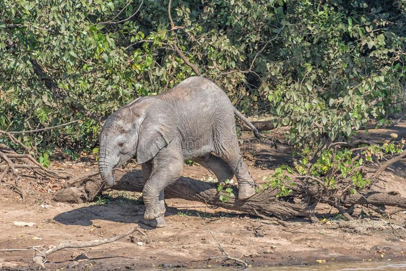 Μικρός αρσενικός αφρικανικός μόσχος ελεφάντων που αναρριχείται πέρα από ένα κολόβωμα δέντρων στοκ φωτογραφίες με δικαίωμα ελεύθερης χρήσης