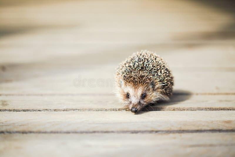 Μικρός αστείος καλός σκαντζόχοιρος που στέκεται στο ξύλινο πάτωμα στοκ φωτογραφία με δικαίωμα ελεύθερης χρήσης