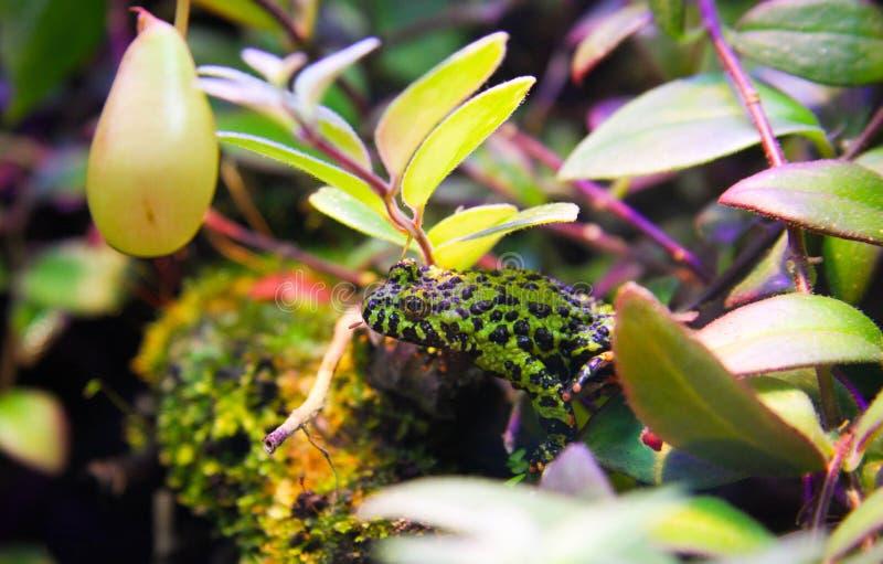 Μικρός δηλητηριώδης τροπικός πράσινος και μαύρος επισημασμένος βάτραχος στοκ φωτογραφία με δικαίωμα ελεύθερης χρήσης