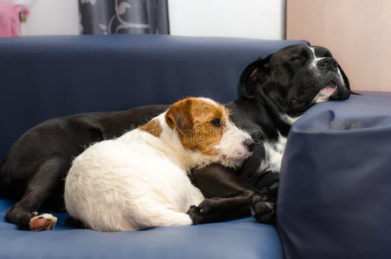 Μικρός καθαρής φυλής ύπνος τεριέ του Jack Russell σκυλιών στον καναπέ δίπλα σε ένα μεγάλο μαύρο σκυλί amstaff Αγκαλιασμένος και α στοκ εικόνες με δικαίωμα ελεύθερης χρήσης