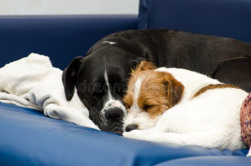Μικρός καθαρής φυλής ύπνος τεριέ του Jack Russell σκυλιών στον καναπέ δίπλα σε ένα μεγάλο μαύρο σκυλί amstaff Αγκαλιασμένος και α στοκ εικόνες