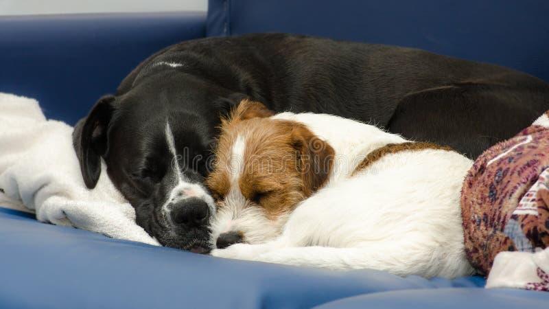 Μικρός καθαρής φυλής ύπνος τεριέ του Jack Russell σκυλιών στον καναπέ δίπλα σε ένα μεγάλο μαύρο σκυλί amstaff Αγκαλιασμένος και α στοκ φωτογραφία