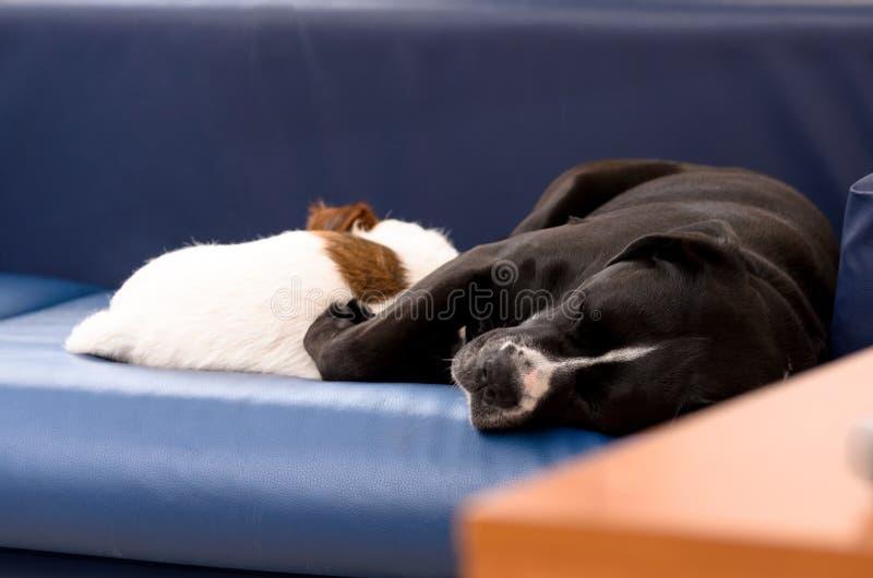 Μικρός καθαρής φυλής ύπνος τεριέ του Jack Russell σκυλιών στον καναπέ δίπλα σε ένα μεγάλο μαύρο σκυλί amstaff Αγκαλιασμένος και α στοκ εικόνα