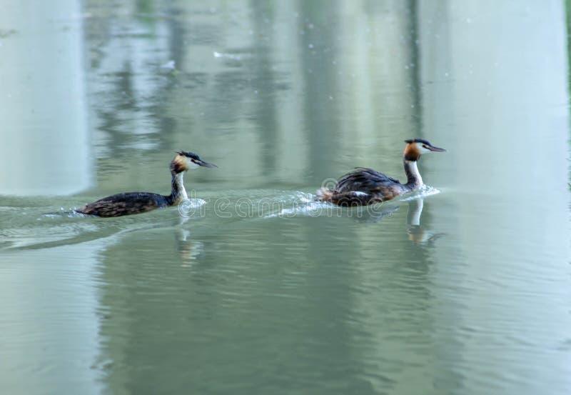Μικρός κορμοράνος που κολυμπά ειρηνικά στον ποταμό sile στοκ εικόνες