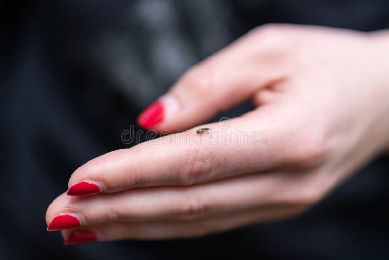 Μικρός κρότωνας στο ανθρώπινο δάχτυλο, κίνδυνος του δαγκώματος του κρότωνα στοκ εικόνα