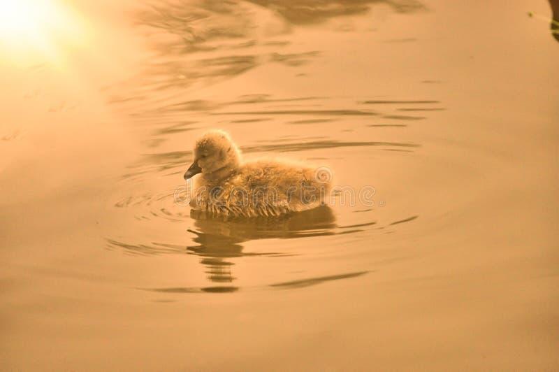 Μικρός κύκνος στον ποταμό και την ηλιοφάνεια στοκ εικόνα