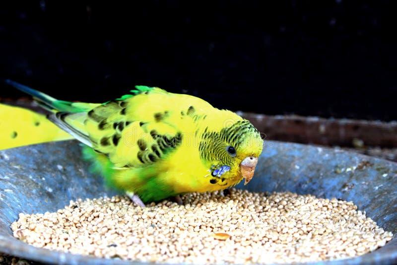 μικρός παπαγάλος που τρώει το φασόλι στοκ φωτογραφία