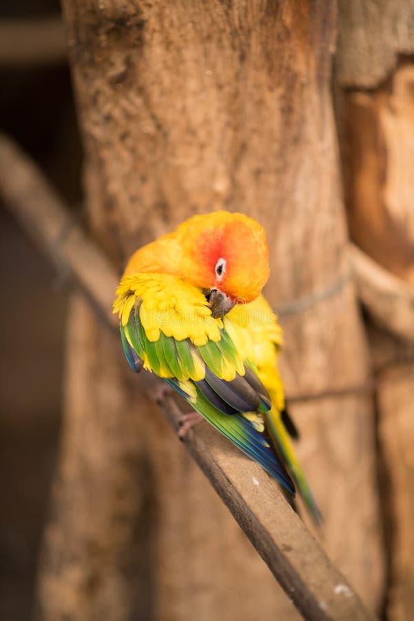 Μικρός παπαγάλος Ara Macaw στον κλάδο που καθαρίζει τον μαλλί στοκ φωτογραφίες