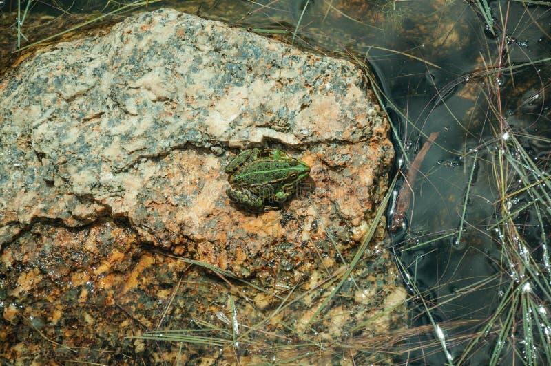 Μικρός πράσινος βάτραχος στην πέτρα μεταξύ του νερού στοκ φωτογραφία