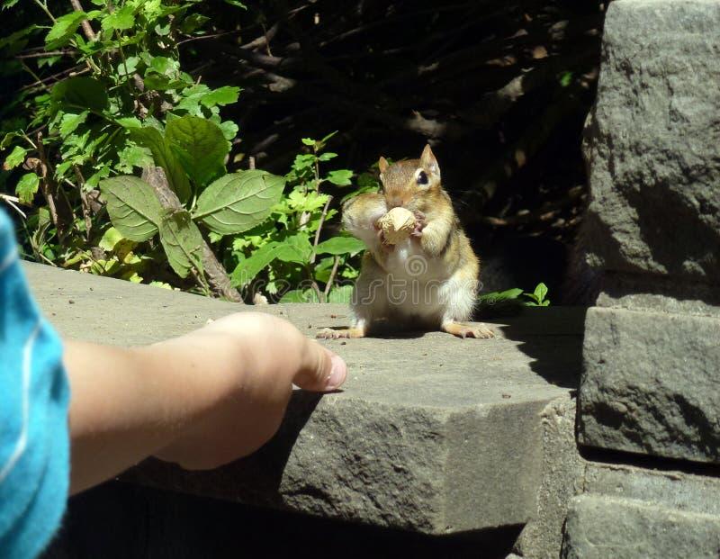 Download μικρός σκίουρος στοκ εικόνα. εικόνα από bodybuilders - 62706479