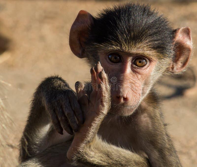 Μικρός baboon καλλωπισμός στοκ φωτογραφίες με δικαίωμα ελεύθερης χρήσης