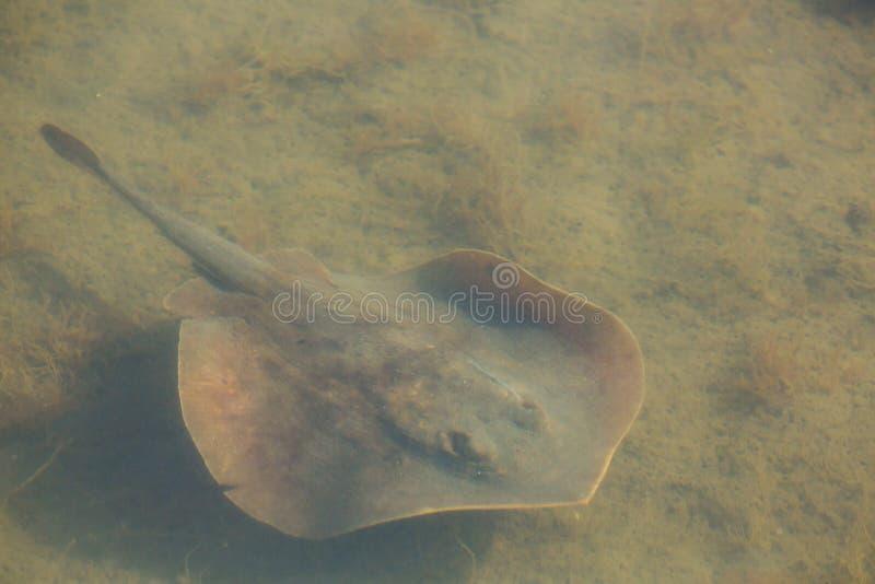 Μικρός stingray κολυμπά σε ένα ρηχό κανάλι σε μια κονσέρβα φύσης στοκ εικόνες με δικαίωμα ελεύθερης χρήσης