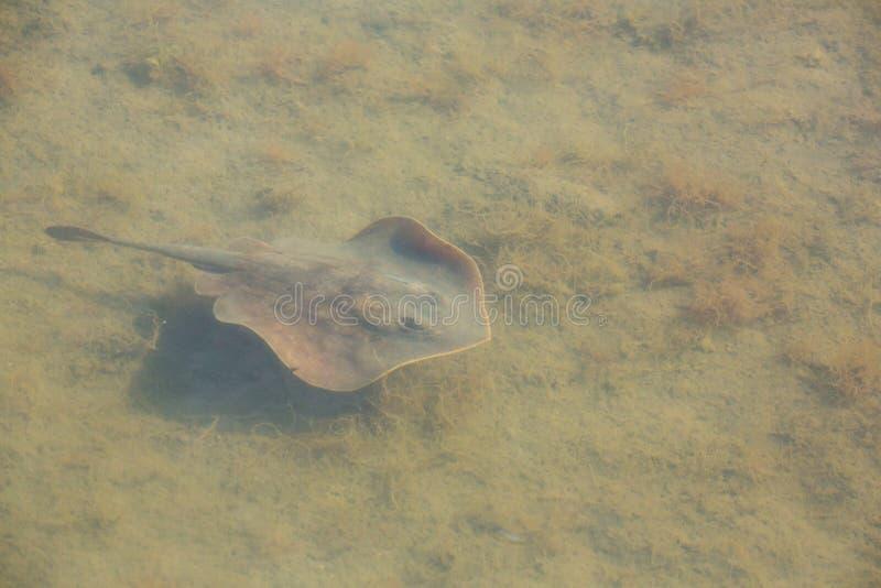 Μικρός stingray κολυμπά σε ένα ρηχό κανάλι σε μια κονσέρβα φύσης στοκ εικόνα με δικαίωμα ελεύθερης χρήσης