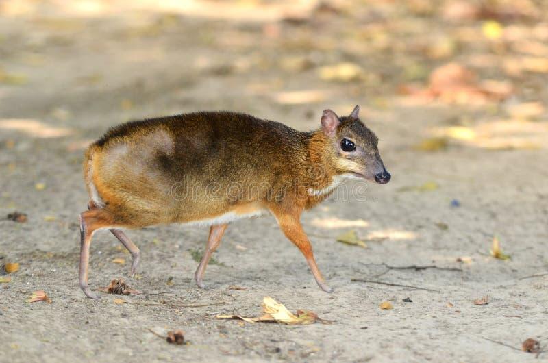 Μικρότερα ελάφια ποντικιών στοκ φωτογραφίες με δικαίωμα ελεύθερης χρήσης