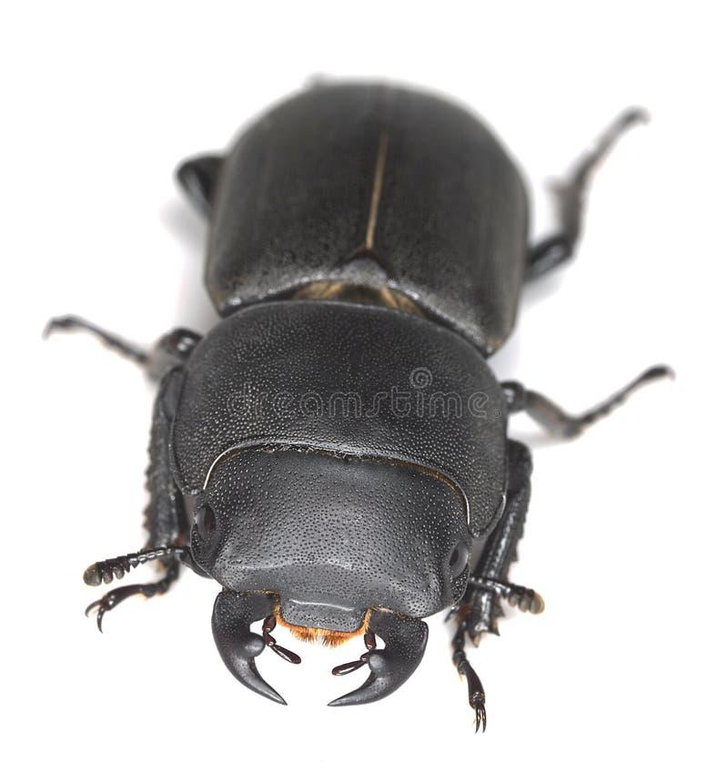Μικρότερος κάνθαρος αρσενικών ελαφιών, parallelipipedus Dorcus στοκ φωτογραφίες